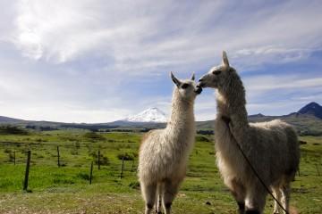 Kissing Llamas in Cotopaxi, Ecuador