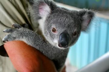Koala Closeup, Australia