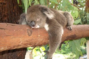 Koala in Caversham Wildlife Park in Perth, Australia