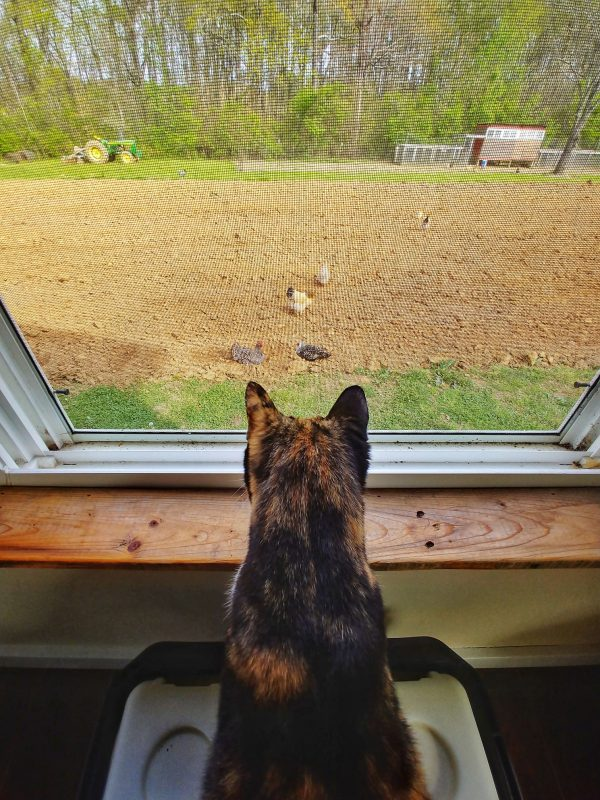 Lizzi the Travel Cat watching chickens at Everlee Farm, Chattanooga