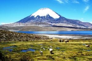Wayward Llamas Near Chungara Lake, Chile