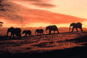 Wildlife, African Elephants, Family,