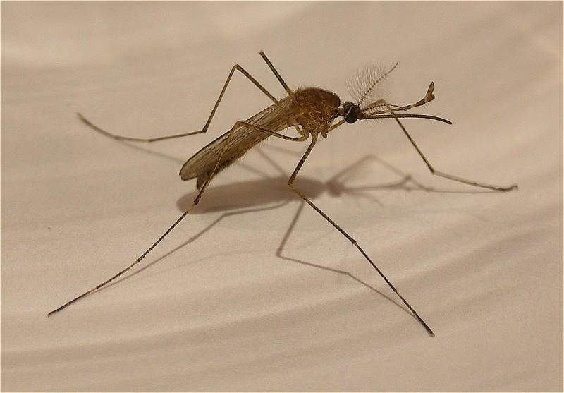 Mosquito (closeup)