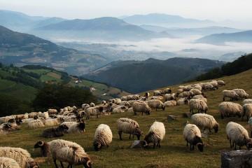 Sheep grazing on a mountain side near Camino de Santiago