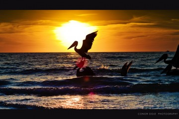 Pelican Diving for Dinner in Naples, Florida
