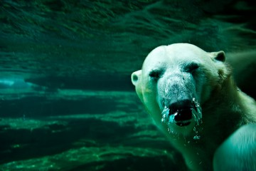 Polar Bear Closeup, Memphis Zoo