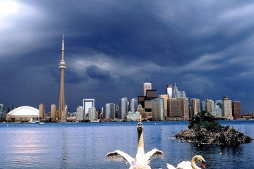 Swans in front of Toronto city skyline