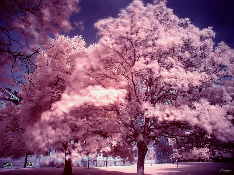 Endless pink trees in downtown Toronto, Canada (infrared)