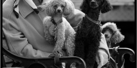 The Poodle Lady of West Yorkshire, England
