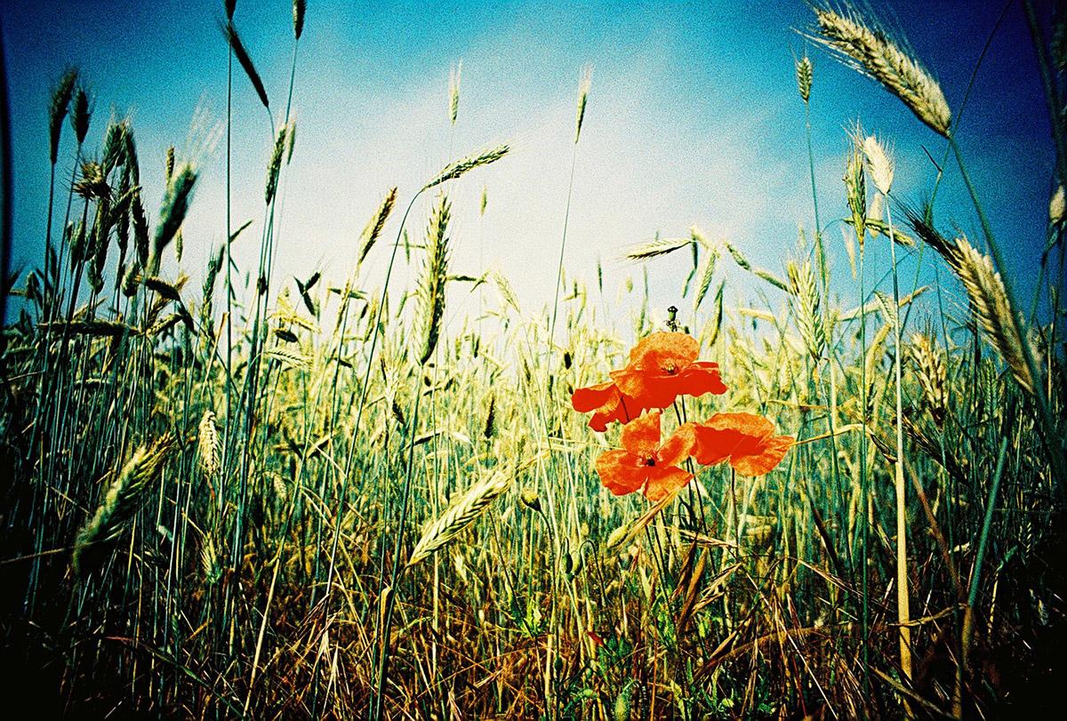 Closeup of wild poppies in Hertford, England