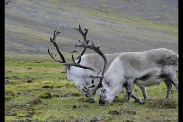 Two reindeer in Svalbard, Norway