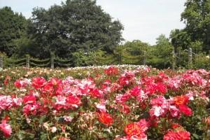 Queen Mary's Rose Gardens in Regent's Park, London