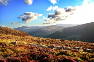 Row of sheep on a hillside in Ireland
