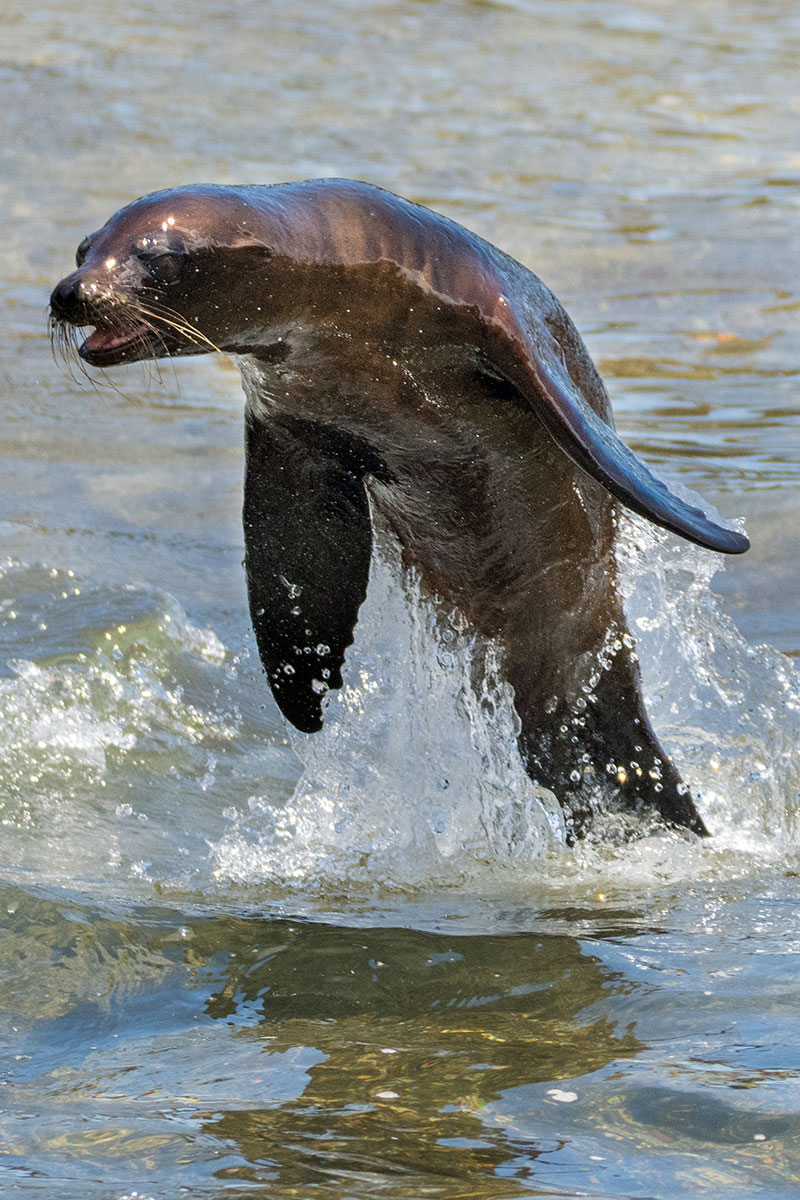 Sea Lion Jumping Out of the Water in Galapagos National Park, Ecuador