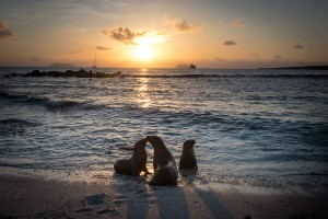 Sea Lions at Sunset in Galapagos National Park, Ecuador