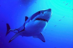 Great white shark in Guadalupe Island, Mexico
