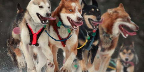 Determined, Iditarod sled dogs in Alaska