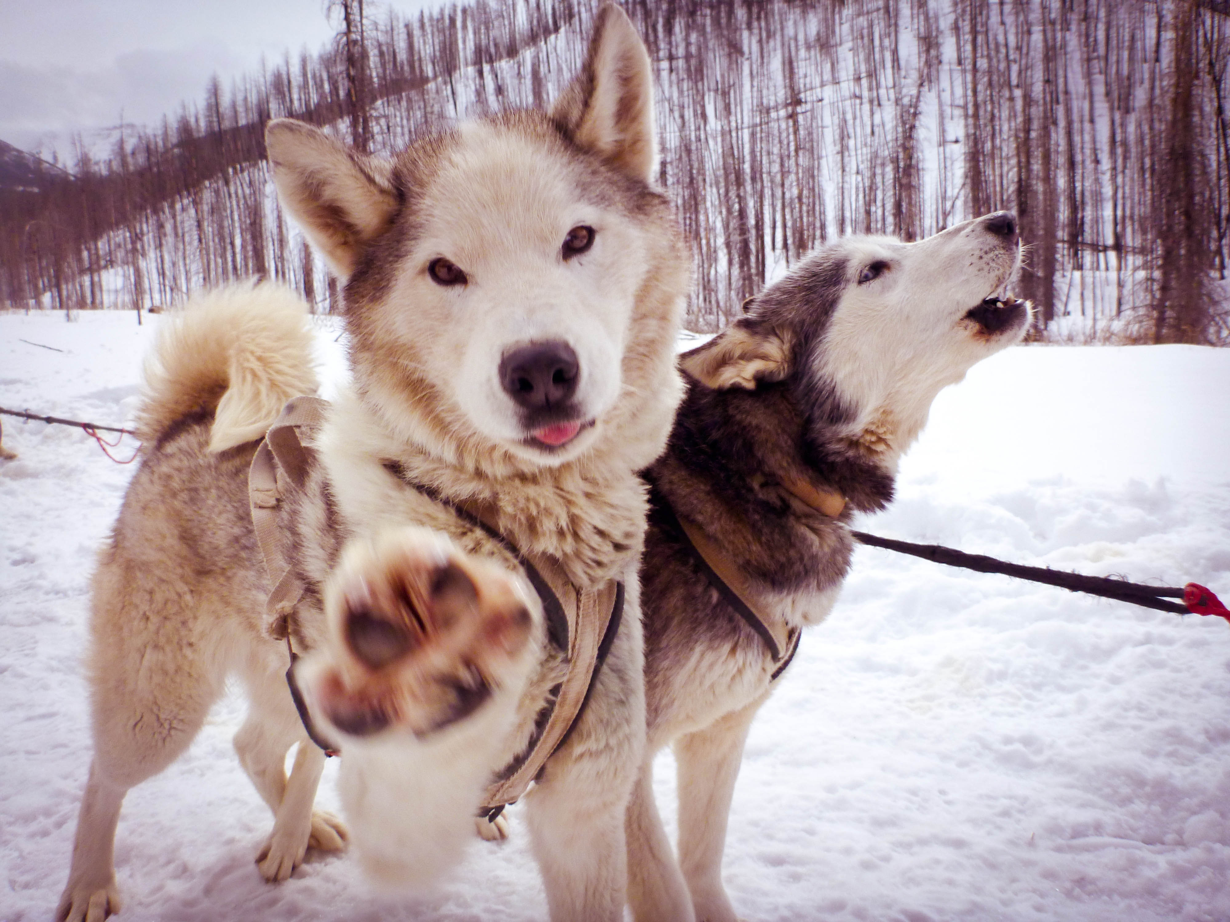 Closeup of two sled dogs in Pray, Montana