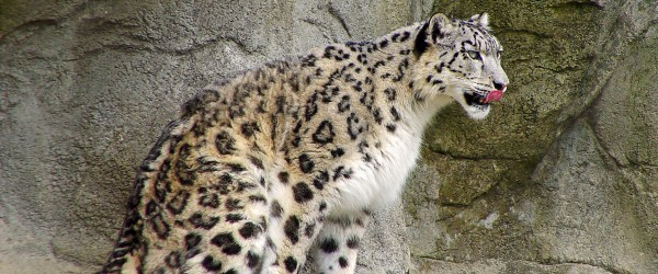Snow Leopard at the Zurich Zoo