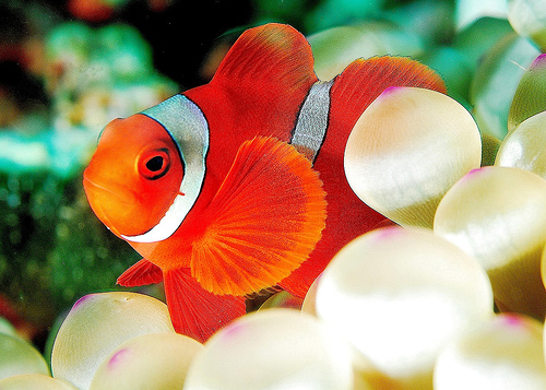 Anemone Fish, North Sulawesi