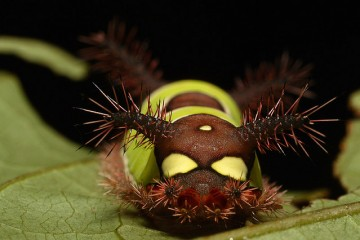 Closeup of stinging Saddleback Caterpillar