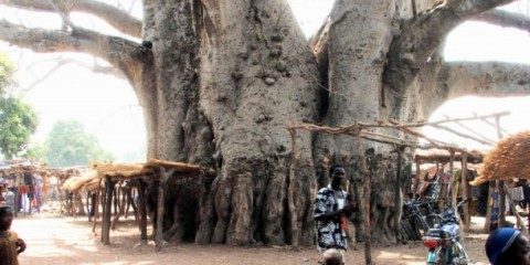 Strange Tree in Baobab, Madagascar