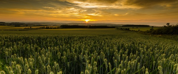 Sunset over the wheat fields of Scotland