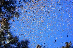 Large Swarm of Monarch Butterflies, El Rosario Sanctuary, Michoacàn-Mèxico