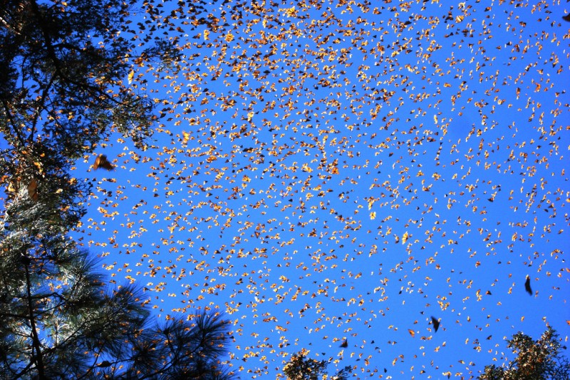 Large Swarm of Monarch Butterflies, El Rosario Sanctuary, Michoacàn-Mèxico