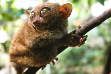 Tarsier (World's Smallest Primate), Philippines