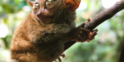 Tarsier (World's Smallest Primate), Philippines