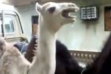 Ticklish Camel (video screenshot)