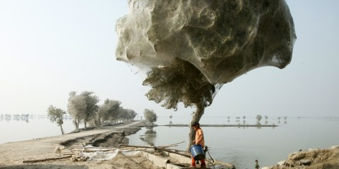 Trees Cocooned in Spider Webs After Flodding in Sindh, Pakistan