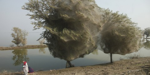 Trees cocooned in spiders webs, an unexpected side effect of the flooding in Sindh, Pakistan