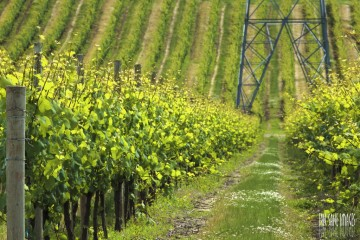 The Vineyards of Mount Angel, Oregon