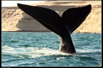 Large closeup of a diving whale's tail in Patagonia, Argentina