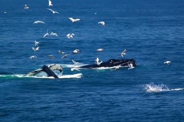 whale-watching-boston-2615650991