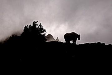 Wild Mountain Goat at Whiskey Bed, Washington