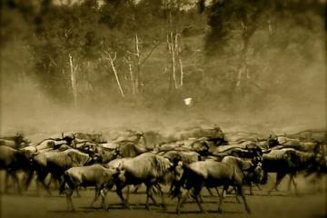 A large herd of wildebeest in Kenya, Africa