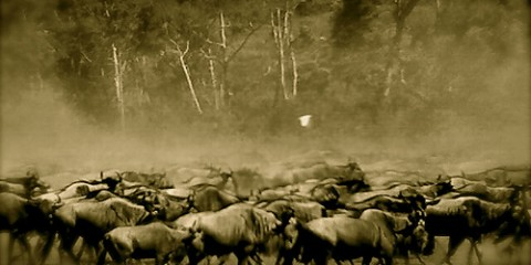A large herd of wildebeest in Kenya, Africa