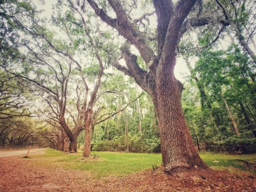 Live Oak Trees at Wormsloe Plantation in Savannah, GA