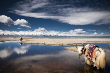 yaks-tibetan-plateau-national-geographic-visions-of-earth