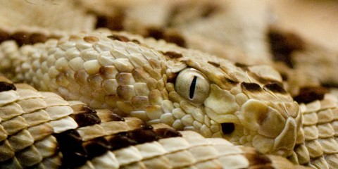 Young Rattlesnake at Cincinnati Zoo, Ohio (closeup)